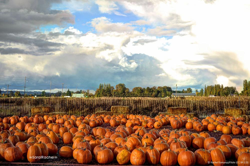 Pumpkin Picking Field