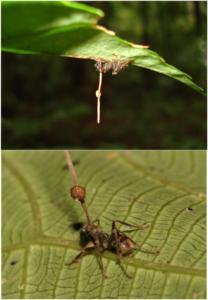 640px-Ophiocordyceps_unilateralis